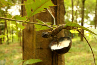 Strange lizard in rubber plantation Phuket