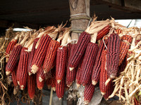 Brown Traditional Maize Cobs Mexico