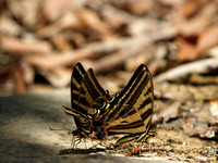 Tiger swallowtail butterflies drinking Nuevo Leon Mexico
