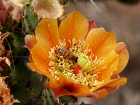 Prickly Pear Flower with Bee