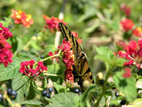 Swallowtail Butterfly on Red Lantana